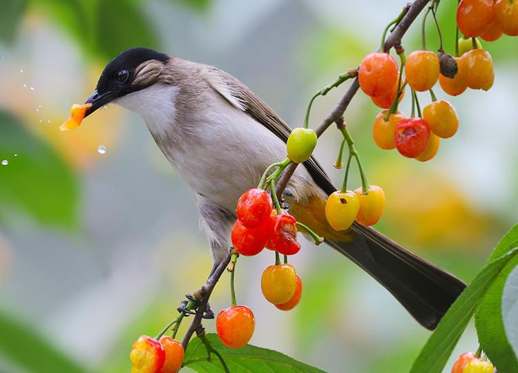 樱桃树与小鸟图片